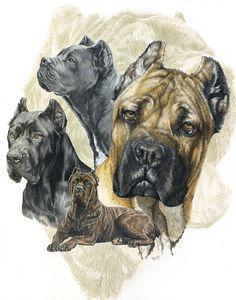 Cane Corso Drawing  - Cane Corso Fine Art Print