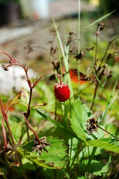 The wild strawberry (metsämansikka) with strong aroma is also a seasonal delicacy in Finland, used for decorating cakes, served with ice cream or just cream. Wild Strawberries, Decorating Cakes, Finland, Nature, Blessed, Strawberry, Ice Cream, Europe, Herbs