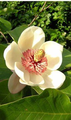 Magnolia - Sweetness; beauty; love of nature; nobility; dignity; splendid beauty