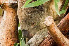 Moonlit Sanctuary, Mornington Peninsula, Australia, Victoria, Melbourne, Day Trip, Animals, Koala