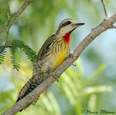 Cuban green woodpecker (Xiphidiopicus percussus)