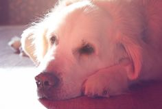 Golden Retriever Mr. Bodie is my ultimate love ♥ I hope he´ll live veeery long! :-)