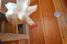 Make sure you're not raising the wrong hen. Here's 10 of the best egg laying chicken breeds that will give you up to 300 eggs per year. Best Egg Laying Chickens, Types Of Chickens, Raising Backyard Chickens, Laying Hens, Baby Chickens, Best Chicken Coop, Building A Chicken Coop, Chicken Coops, Farm Chicken
