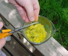 Dandelion Jelly -- dandelions aren't the most welcome additions to the landscape. They tend to take over the entire yard if you let them, but they are edible. Hunts Recipe, Natural Insecticide, Dandelion Jelly, Taraxacum Officinale, Dandelions, Wild Things, Propagation, Preserves, Family Meals
