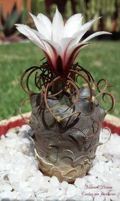 Turbinicarpus schmiedickeanus ssp. macrochele / Cactus sin fronteras / Manuel…
