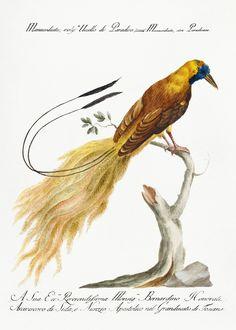 "Saverio Manetti : ""Manucodiata, Known as Bird of Paradise"" (Natural History of Birds, - Giclee Fine Art Print Vintage Bird Illustration, Watercolor Illustration, Zoo Art, 12 Image, Bird Pictures, Vintage Birds, Exotic Birds, Free Illustrations, Art Journal Inspiration"