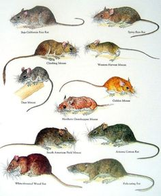 Baja California Rice Rat, Spiny Rice Rat, Western Harvest Golden Mouse, Northern Grasshopper Mouse, Arizona Cotton Rat, Fish Eating Rat, White Throated Wood Rat, South American Field Mouse, Deer Mouse, Climbing Mouse.....clockwise from upper left corner.....via My Sunshine Vintage on ETSY