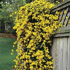 Carolina Jasmine, only blooks for 2 weeks out of the year, but is green and beautiful all year round.  It is a climbing vine, but does not attach itself to the house, you will need to give it a lattice or something similar that it can climb up.  LOVE this!