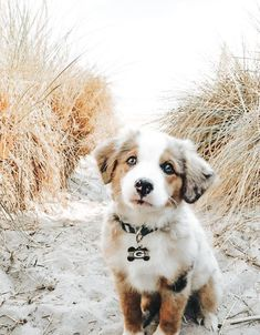 puppies on beach - puppies on beach ; puppies at the beach ; cute puppies at the beach ; cute puppies golden retriever the beach ; cute puppies on beach Super Cute Puppies, Cute Baby Dogs, Cute Little Puppies, Cute Dogs And Puppies, Baby Animals Super Cute, Cute Dogs Breeds, Cute Funny Animals, Doggies, Aussie Puppies