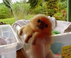 A sloth in a bucket looking adoringly at you.
