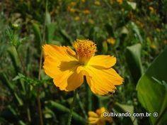 Picão (Bidens sulphurea)   Cultivando.com.br