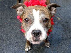 AWWWW HELP HER PLZ!!! BONNIE (princess in the making) NY...PetHarbor.com: Animal Shelter adopt a pet; dogs, cats, puppies, kittens! Humane Society, SPCA. Lost & Found. THIS GIRL REMINDS ME OF MY OWN SWEET BABY ,FOUND WILD IN THE MOUNTAINS IN 2005 !!PLEASE HELP HER !! SHE WILL LOVE YOU FOREVER !!!