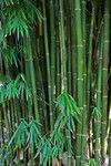 GRACILIS - SLENDER WEAVERS BAMBOO 6-8  metre, the best bamboo to give privacy and stay looking good.  - disease free, straight growing. When mature has swaying leaf mass at the top and tight culms that are impenetrable. Culms usually 15-30 mm wide. Very suitable for planting in sunny sandy or windy areas will even tolerate some frost.  Plant 1.25m apart for a tight screen . Can be trimmed to size - suggest plant in garden beds  more than half a  metre wide.