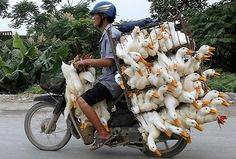 a man transports ducks to market on a motorbike in hanoi, vietnam - pixdaus