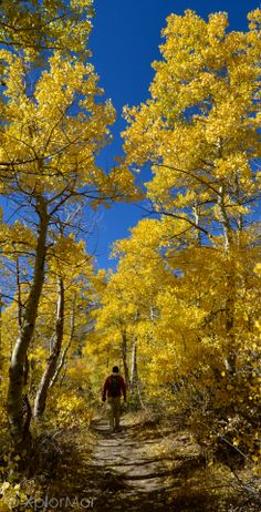 Nature's Gold. Lundy Canyon Trail, Inyo National Forest, Caifornia #xplormor #nationalparks #fallcolor #autumncolors