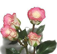 Mayesh Wholesale Florists - Search our Flower Library Spray Rose Electra