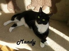 Niki and Mandy is an adoptable Tuxedo Cat in Redwood City, CA.     Please contact info@humanimalconnection.com for more information about this pet who is on display at San Mateo Pet Supply, 346 El Cam...