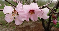 A peach-almond hybrid during Hanami   Powell Gardens' Blog