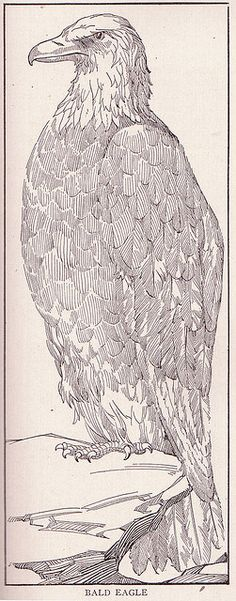 Bald Eagle perched on rock. Public domain illustration, 1917.