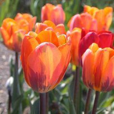 "Princess Irene Single Early Tulip: Z3, 20"", full sun, orange & purple flames, fragrant"
