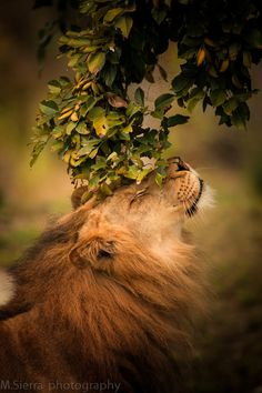 Lion bliss