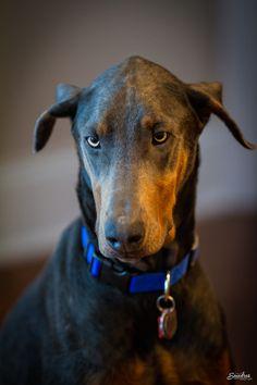 . Explore, Dogs, Animals, Beautiful, Doberman, Animales, Animaux, Pet Dogs, Doggies