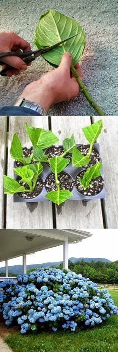 How to root_HORTENSIAS_ESQUEJES hydrangea cuttings. If i can, i want to make cuttings of my plants at my dad's house before moving out to somewhere :) so i can bring them with me in spirit Rooting Hydrangea Cuttings, Propagating Hydrangeas, Growing Hydrangea, Rooting Plants, Hydrangea Bush, Hydrangea Care, Blue Hydrangea, Hydrangea Fertilizer, Growing Flowers