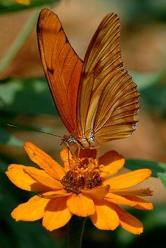 butterfly on beautiful orange zinnia