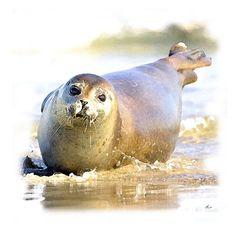 'Seehund von Helgoland' von Dirk h. Wendt bei artflakes.com als Poster oder Kunstdruck $18.03