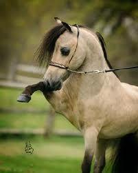 Miniature Buckskin pony