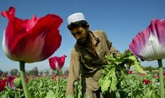 Taliban destroy poppy fields in surprise clampdown on Afghan opium growers Amanita Phalloides, Ugly Animals, Blobfish, Insurgent, Afghanistan, Farmer, Poppies, Britain, All About Time