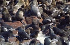 Seal Cull in Namibia