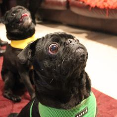 "hamiltonpug:  ""Please drop the treat before Rufus explodes."" #puglife"