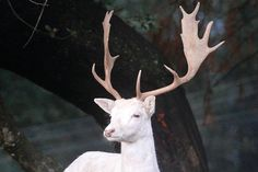 White Fallow deer - saw a taxidermy of one and it was stunning.  Here is the real thing... Such a fantastic creature!!!!