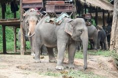 Urge the University of Oklahoma to Stop cruel Elephant rides at the Medieval Fair. | YouSignAnimals.org