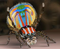 "Male Peacock Spider (maratus volans) ~ Click through the large version for a full-screen view (on a black background in Firefox), set your computer for full-screen). ~ What he does is dance for a female to impress her. If she likes his colors and moves she will mate with him and let him go on his way. If she doesn't like him she'll kill and eat him. ~ Miks' Pics ""Arachnids and  Insects ll"" board @ http://www.pinterest.com/msmgish/arachnids-and-insects-ll/"