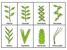 Resultado de imagen para formas de hojas aovadas