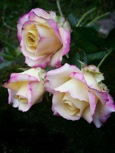 Fondant Flowers, Clay Flowers, Flower Crafts, Flower Art, Beautiful Roses, Beautiful Flowers, Sugar Paste Flowers, Rose Tutorial, Coming Up Roses