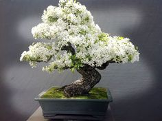 Bonsai is a Japanese art form using miniature trees grown in containers. Bonsai is plantings in tray or low-sided pot. Bonsai trees are awesome and most beautiful trees. House Plants, Plants, Indoor Bonsai Tree, Bonzai Tree, Plant Design, Tree Care, Japanese Garden, Bonsai Flower, Flowers
