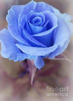 Mysterious – photography by Sweet Moments Photography - Garden Amazing Flowers, Beautiful Roses, My Flower, Pretty Flowers, Pastel Flowers, Pastel Blue, Mysterious Photography, Rose Reference, Ronsard Rose