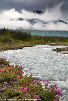 Fireweed along Quill Creek near the Haines Highway Kluane National Park Preserve Yukon Territory Canada.