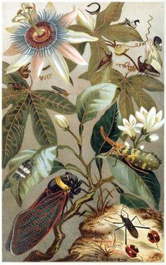 Cicadas. From Brehms Tierleben (Brehm's animal life) vol. 9, by Alfred Edmund Brehm, Leipzig, Vienna, 1893.