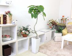 幹がくねくねっと曲げられた仕立ての珍しいウンベラータで、インテリアとしてとってもオシャレな樹形です。ウンベラータの花言葉は、すこやか、夫婦愛、永久の幸せ #観葉植物 #インテリア #ウンベラータ  #ブルーミングスケープ #オシャレ #foliageplant #interior #plants #umbellata http://www.bloom-s.co.jp/fs/bloomingscape/g8-unbeswz