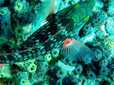 Stoplight parrotfish over sponges (photo by me)