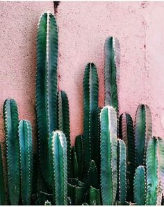 green cactus on a pink painted wall. Free Your Wild :: Botanical Beauty :: Plants :: Cacti :: Garden Decor :: See more Untamed Nature Cacti And Succulents, Cactus Plants, Cacti Garden, Green Plants, Tall Cactus, Pink Succulent, Indoor Cactus, Cactus Art, Plants Indoor