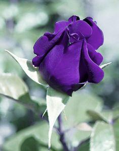 Purple Roses, Most Beautiful, Plants, Flowers, Purple Rose, Plant, Planets