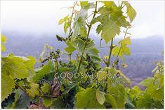 Parables Of Jesus, Sour Grapes, Rain Storm, New Fruit, Fig Tree, Do Not Fear, The Kingdom Of God, Buy Prints, Rain Drops