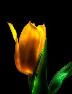 ~~ yellow tulip ~~