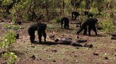 Απίστευτο: Χιμπατζήδες βασάνισαν, σκότωσαν και κανιβάλισαν τον πρώην ηγέτη της ομάδας τους! : aek365