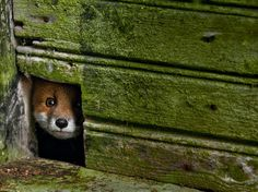 magicalnaturetour:    Foxhole,  Photo Kai Fagerstrom via National Geographic Russia
